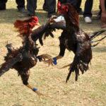 Mempertimbangkan Kenyamanan Judi Sabung Ayam Online S128